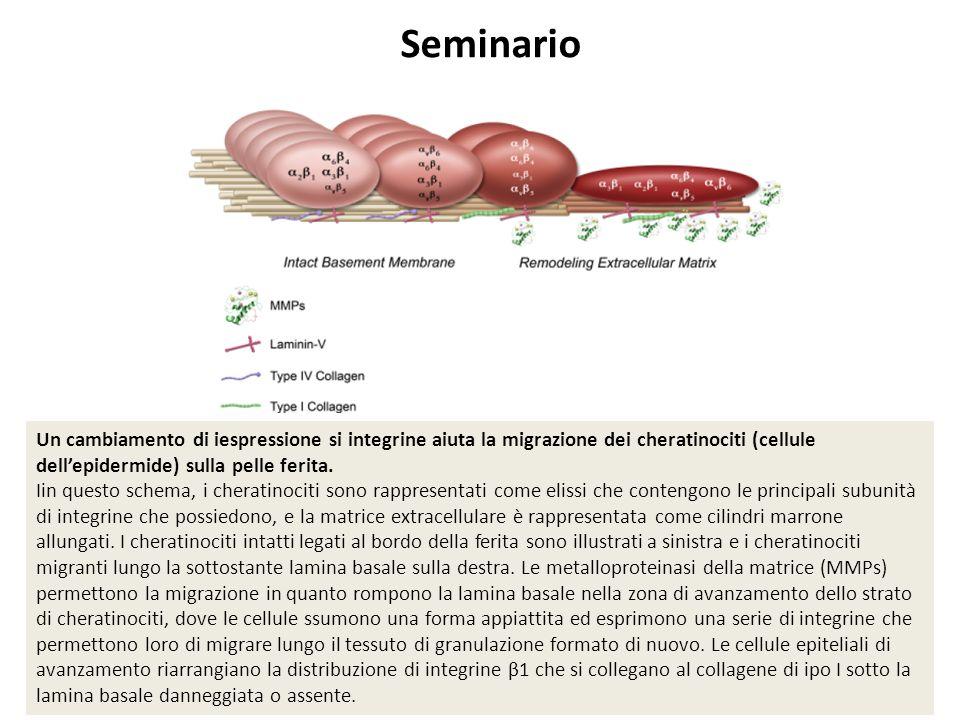 Un cambiamento di iespressione si integrine aiuta la migrazione dei cheratinociti (cellule dell'epidermide) sulla pelle ferita. Iin questo schema, i c