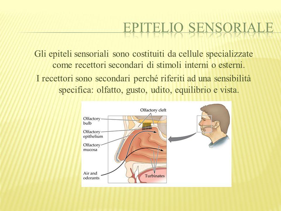 http://www.scribd.com/doc/7343130/Epiteli-sensoriali http://dsz.uniss.it/anatomia/tessuto%20epiteliale.pdf http://medicinapertutti.altervista.org/istologia/istologia.html http://medicinapertutti.altervista.org/istologia/tessuto_epiteliale/epitelio_di_transizione.html http://it.encarta.msn.com/encnet/refpages/RefArticle.aspx?refid=761554781 www.med.unipi.it/morfologia/.../06%20Tessuti%20Epiteliali.doc http://www.silsismi.unimi.it/arch_SILSISMI_05/indirizzi/Indirizzi_doc/Scienze%20Naturali /TESSUTO%20EPITELIALE.htm doc.studenti.it/epiteli-ghiandolari-descrizione-tessuti-ghiandolari.html Immagini prelevate da: http://images.google.it/http://images.google.it/