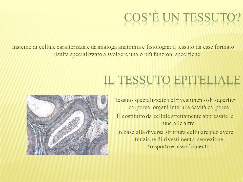 Le cellule epiteliali sono polarizzate, hanno quindi due superfici distinte: o Versante basale o Versante apicale Il versante basale è connesso alla membrana basale, la quale aderisce ai tessuti sottostanti.