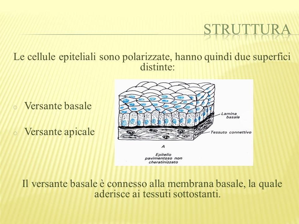 La cellula epiteliale può essere: o Pavimentosa (o squamosa): poco spessa e con funzione protettiva.