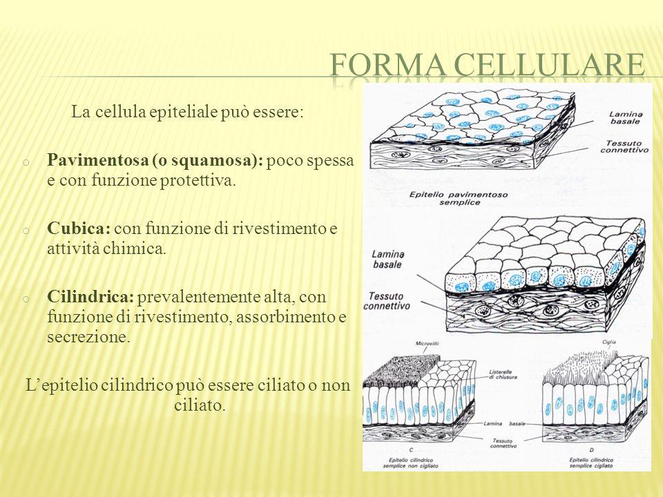 Le cellule dell'epitelio cubico e cilindrico secernono secreti e formano un tessuto detto membrana mucosa.