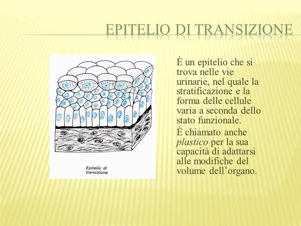 o Tessuto epiteliale di rivestimento Riveste le cavità esterne ed interne del corpo.