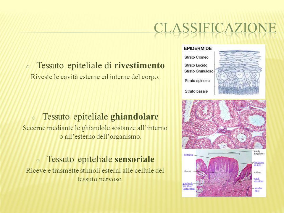 Gli epiteli ghiandolari costituiscono le ghiandole, che possiamo suddividere in due gruppi: o ghiandole esocrine: secernono sostanze che, attraverso un dotto escretore, sono riversate all'esterno dell'organismo.