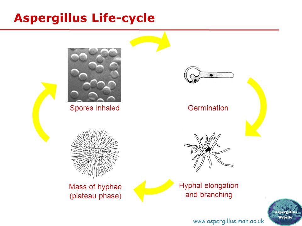 Spores inhaled Germination Mass of hyphae (plateau phase) Hyphal elongation and branching Aspergillus Life-cycle www.aspergillus.man.ac.uk