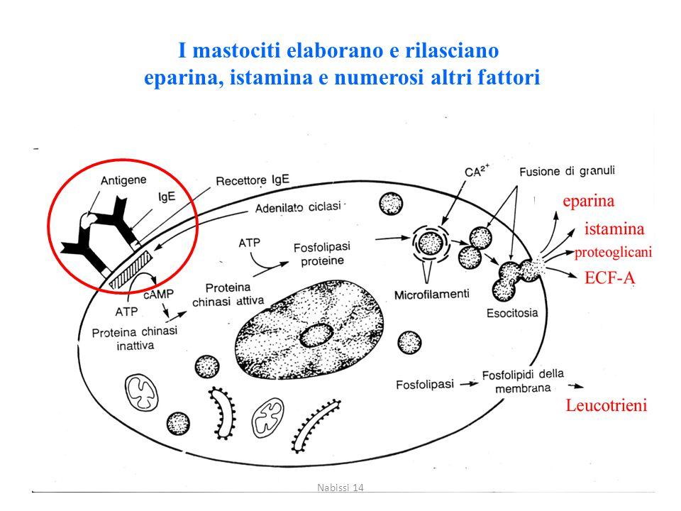 I mastociti elaborano e rilasciano eparina, istamina e numerosi altri fattori Nabissi 14