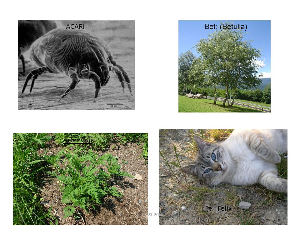 ACARI Bet: (Betulla) Artemisia Fel: Felix NABISSI 2013