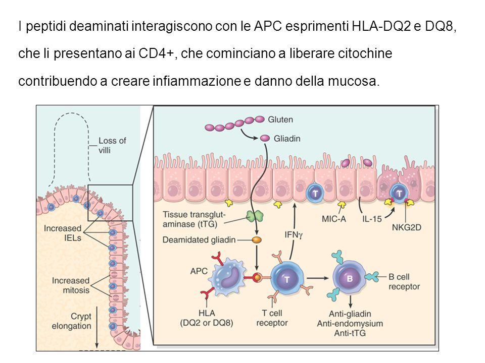 I peptidi deaminati interagiscono con le APC esprimenti HLA-DQ2 e DQ8, che li presentano ai CD4+, che cominciano a liberare citochine contribuendo a c