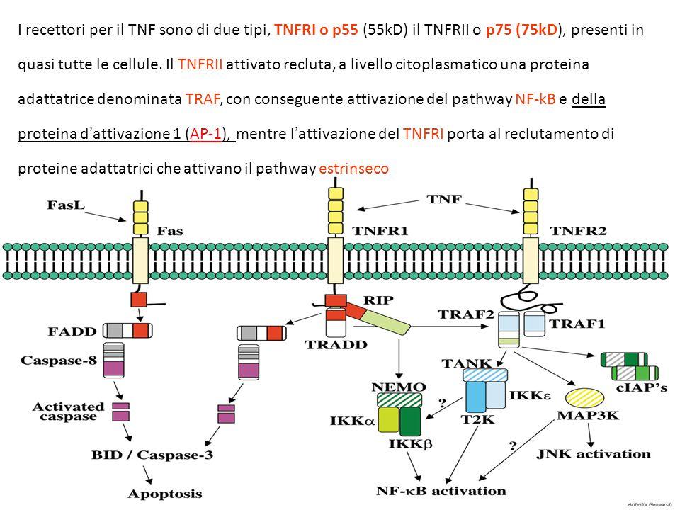 I recettori per il TNF sono di due tipi, TNFRI o p55 (55kD) il TNFRII o p75 (75kD), presenti in quasi tutte le cellule. Il TNFRII attivato recluta, a