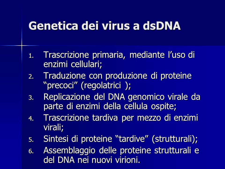 Genetica dei virus a dsDNA 1.Trascrizione primaria, mediante l'uso di enzimi cellulari; 2.