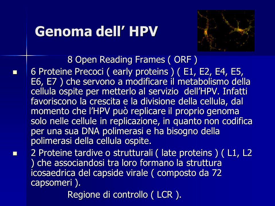 Genoma dell' HPV 8 Open Reading Frames ( ORF ) 6 Proteine Precoci ( early proteins ) ( E1, E2, E4, E5, E6, E7 ) che servono a modificare il metabolismo della cellula ospite per metterlo al servizio dell'HPV.