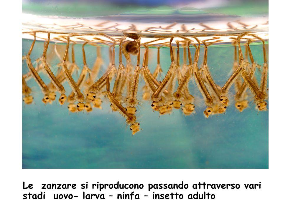 Le zanzare si riproducono passando attraverso vari stadi uovo- larva – ninfa – insetto adulto