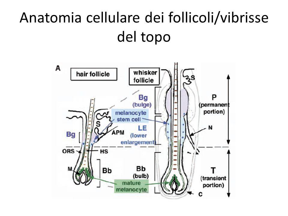 Anatomia cellulare dei follicoli/vibrisse del topo