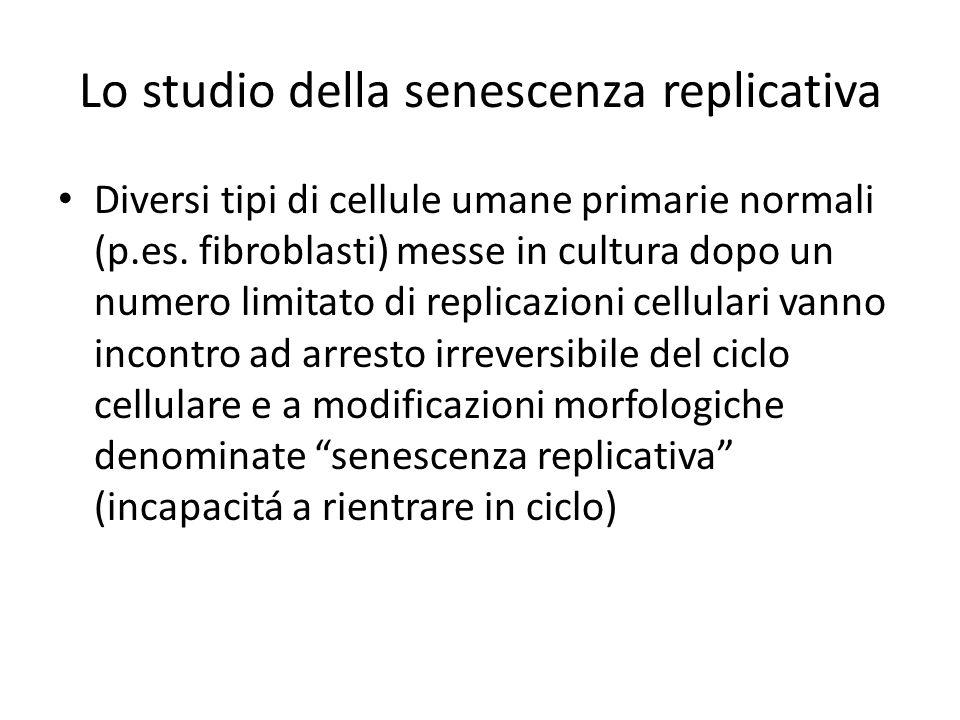 Lo studio della senescenza replicativa Diversi tipi di cellule umane primarie normali (p.es.