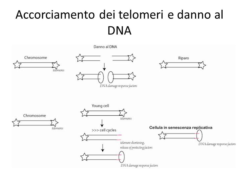 Accorciamento dei telomeri e danno al DNA