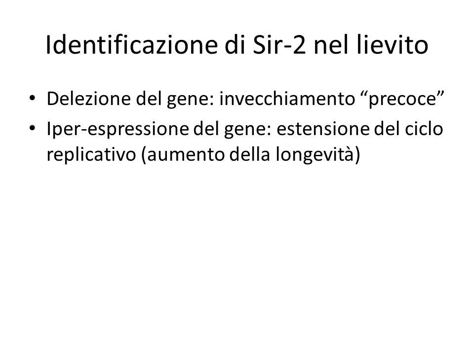 Identificazione di Sir-2 nel lievito Delezione del gene: invecchiamento precoce Iper-espressione del gene: estensione del ciclo replicativo (aumento della longevità)