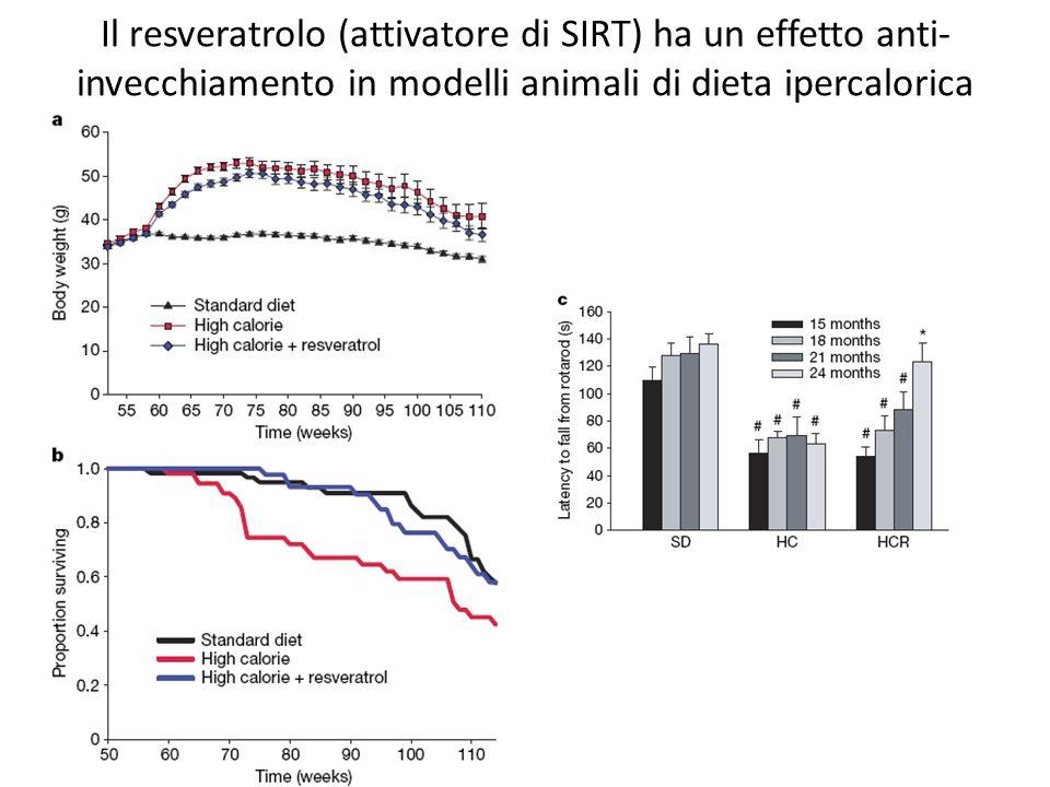 Il resveratrolo (attivatore di SIRT) ha un effetto anti- invecchiamento in modelli animali di dieta ipercalorica