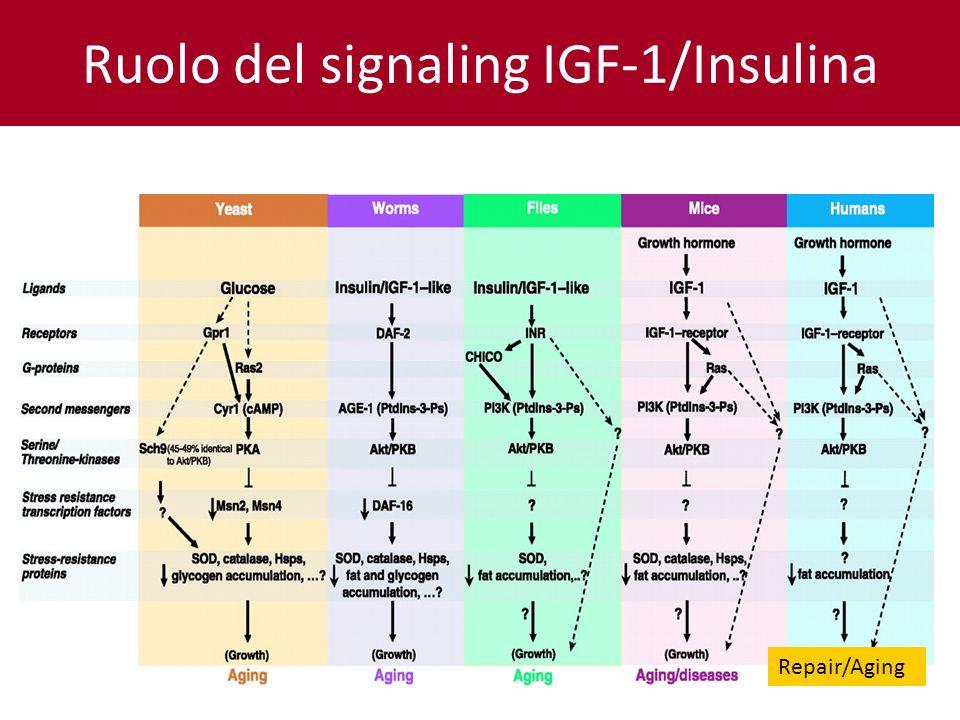 Ruolo del signaling IGF-1/Insulina Repair/Aging