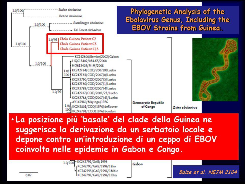 Baize et al. NEJM 2104 Phylogenetic Analysis of the Ebolavirus Genus, Including the EBOV Strains from Guinea. La posizione più 'basale' del clade dell