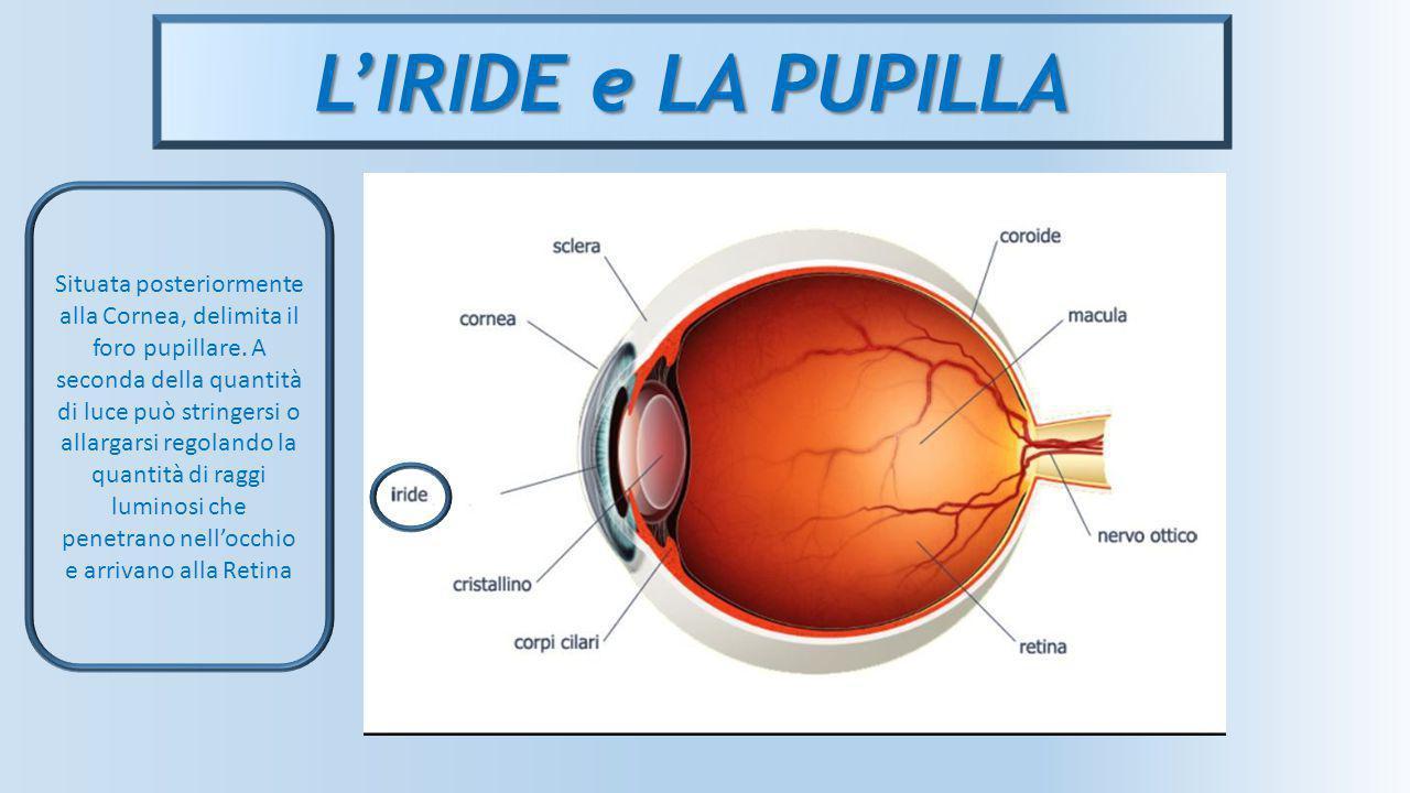 L'IRIDE e LA PUPILLA Situata posteriormente alla Cornea, delimita il foro pupillare. A seconda della quantità di luce può stringersi o allargarsi rego