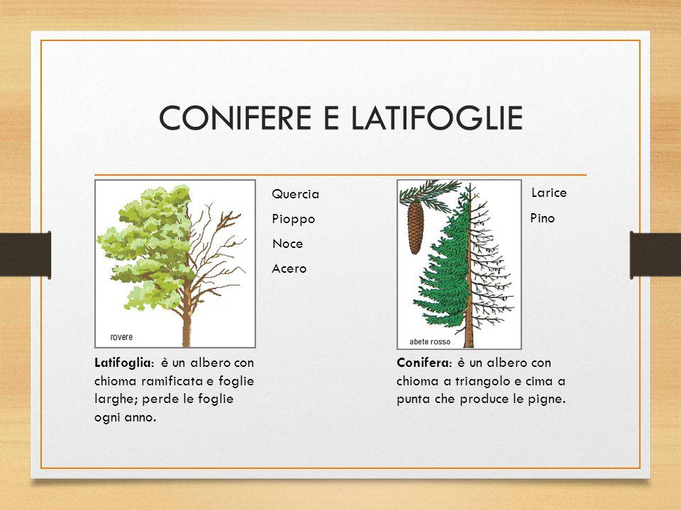 CONIFERE E LATIFOGLIE Conifera: è un albero con chioma a triangolo e cima a punta che produce le pigne. Latifoglia: è un albero con chioma ramificata