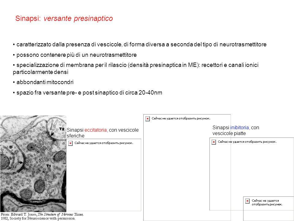 Sinapsi eccitatoria, con vescicole sferiche Sinapsi: versante presinaptico caratterizzato dalla presenza di vescicole, di forma diversa a seconda del