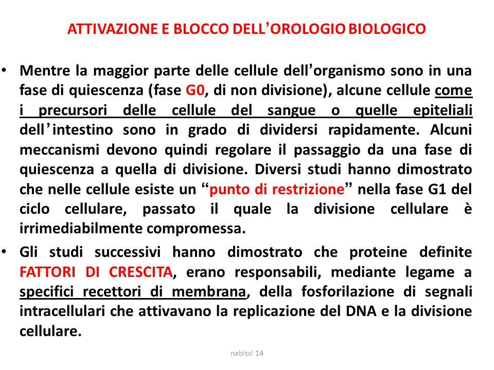 ATTIVAZIONE E BLOCCO DELL'OROLOGIO BIOLOGICO Mentre la maggior parte delle cellule dell'organismo sono in una fase di quiescenza (fase G0, di non divi