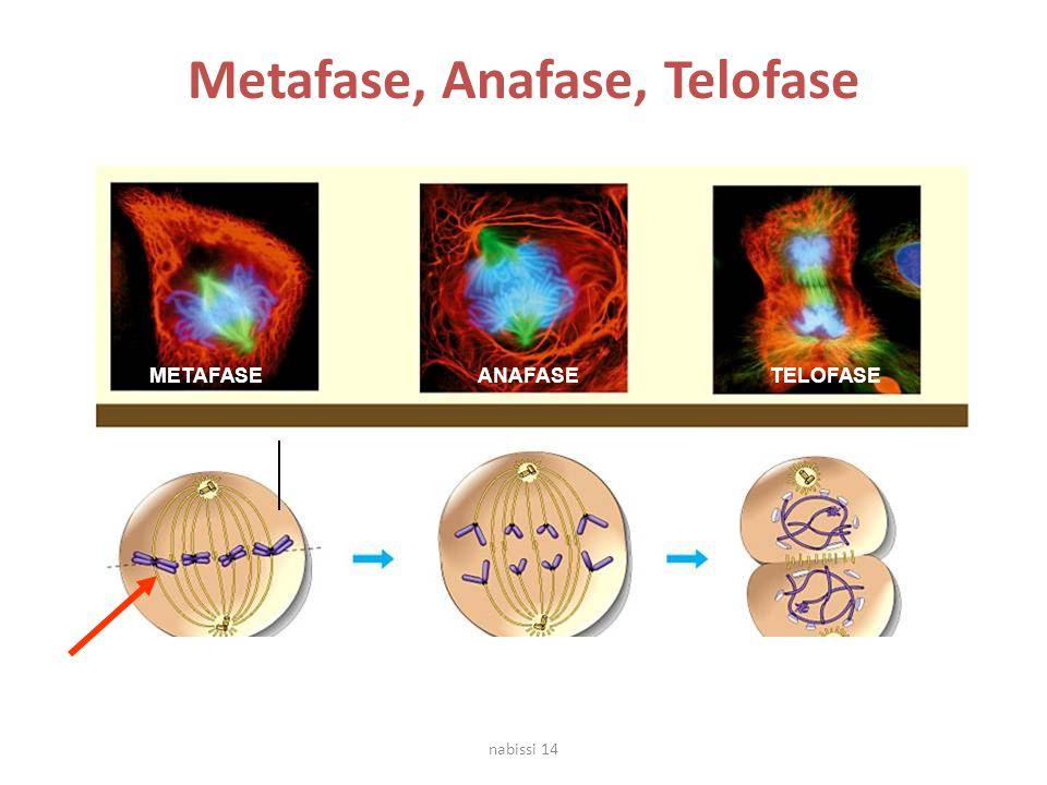 METAFASE CROMOSOMI REPLICATI MIGRAZIONE AI POLI OPPOSTIFORMAZIONE DELL'INVOLUCRO NUCLEARE ANAFASE Metafase, Anafase, Telofase TELOFASE nabissi 14
