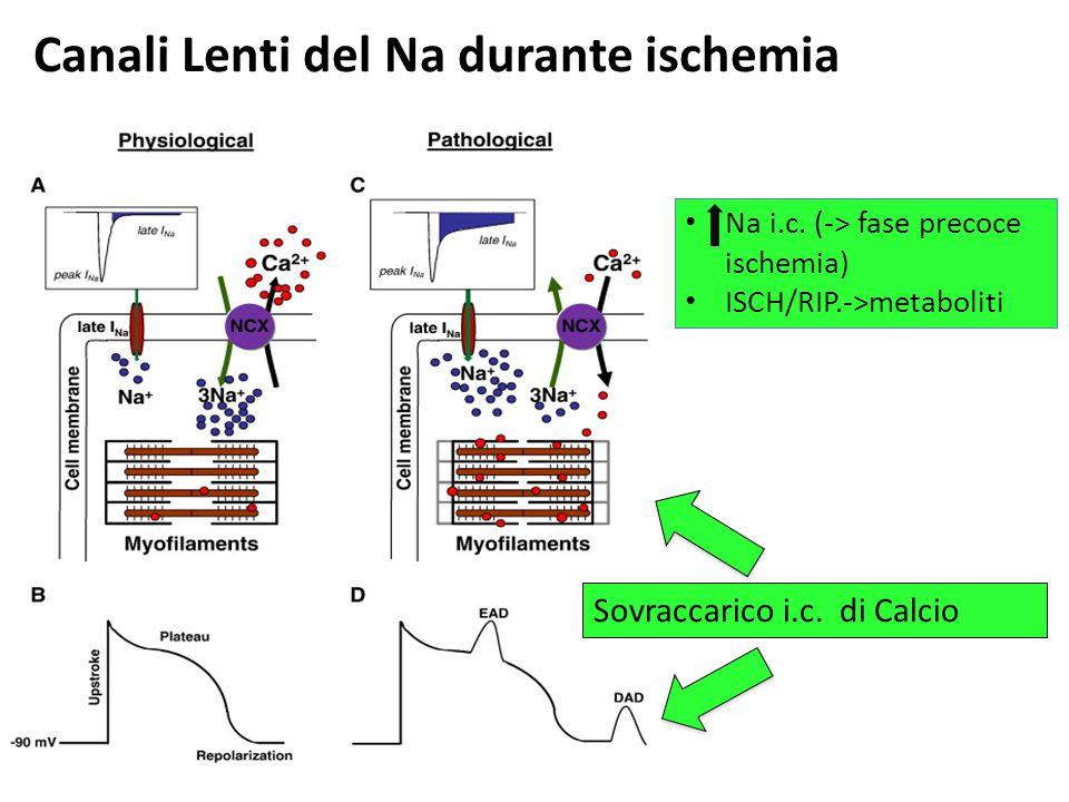 Canali Lenti del Na durante ischemia Na i.c. (-> fase precoce ischemia) ISCH/RIP.->metaboliti Sovraccarico i.c. di Calcio