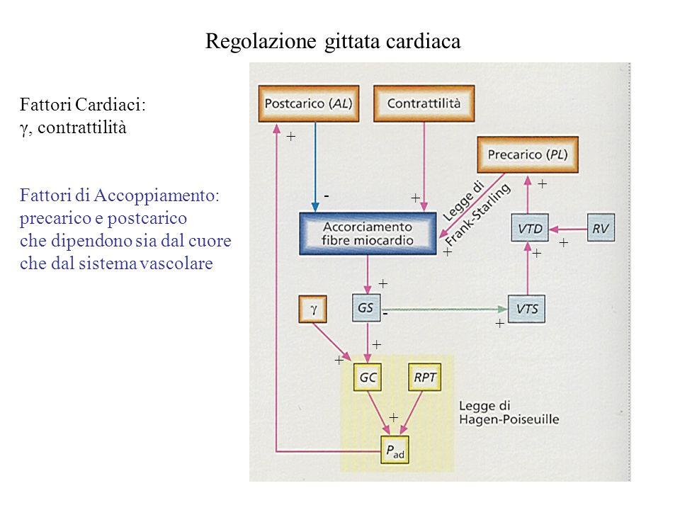 Regolazione gittata cardiaca + + + + + + + + + + + - - Fattori Cardiaci: γ, contrattilità Fattori di Accoppiamento: precarico e postcarico che dipendo