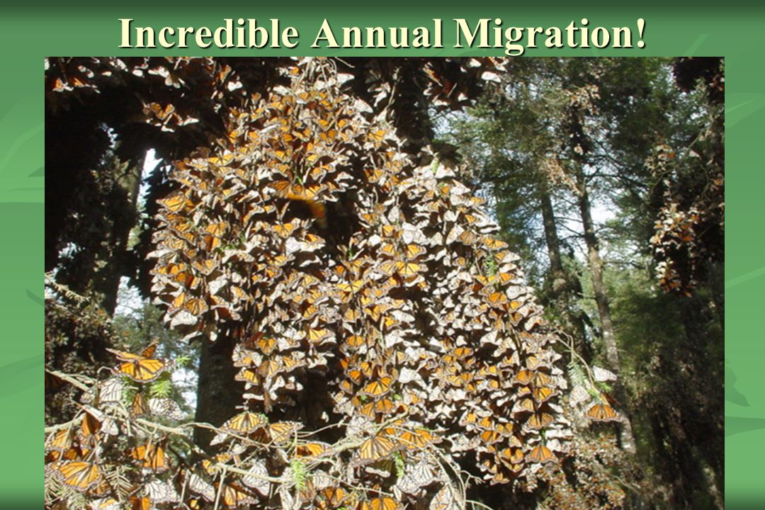 """So What Is The Story? Monarch Butterfly, symbol of nature and """"wildness"""" in North America. Monarch Butterfly, symbol of nature and """"wildness"""" in North"""