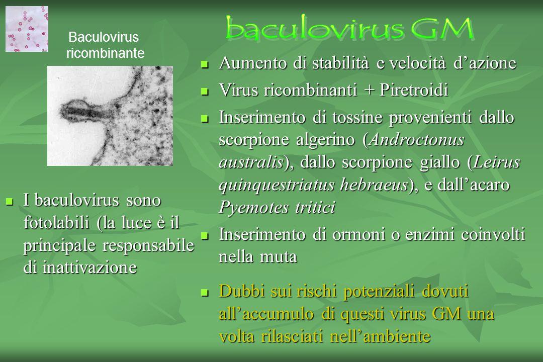 I baculovirus sono fotolabili (la luce è il principale responsabile di inattivazione I baculovirus sono fotolabili (la luce è il principale responsabile di inattivazione Aumento di stabilità e velocità d'azione Aumento di stabilità e velocità d'azione Virus ricombinanti + Piretroidi Virus ricombinanti + Piretroidi Inserimento di tossine provenienti dallo scorpione algerino (Androctonus australis), dallo scorpione giallo (Leirus quinquestriatus hebraeus), e dall'acaro Pyemotes tritici Inserimento di tossine provenienti dallo scorpione algerino (Androctonus australis), dallo scorpione giallo (Leirus quinquestriatus hebraeus), e dall'acaro Pyemotes tritici Inserimento di ormoni o enzimi coinvolti nella muta Inserimento di ormoni o enzimi coinvolti nella muta Dubbi sui rischi potenziali dovuti all'accumulo di questi virus GM una volta rilasciati nell'ambiente Dubbi sui rischi potenziali dovuti all'accumulo di questi virus GM una volta rilasciati nell'ambiente Baculovirus ricombinante