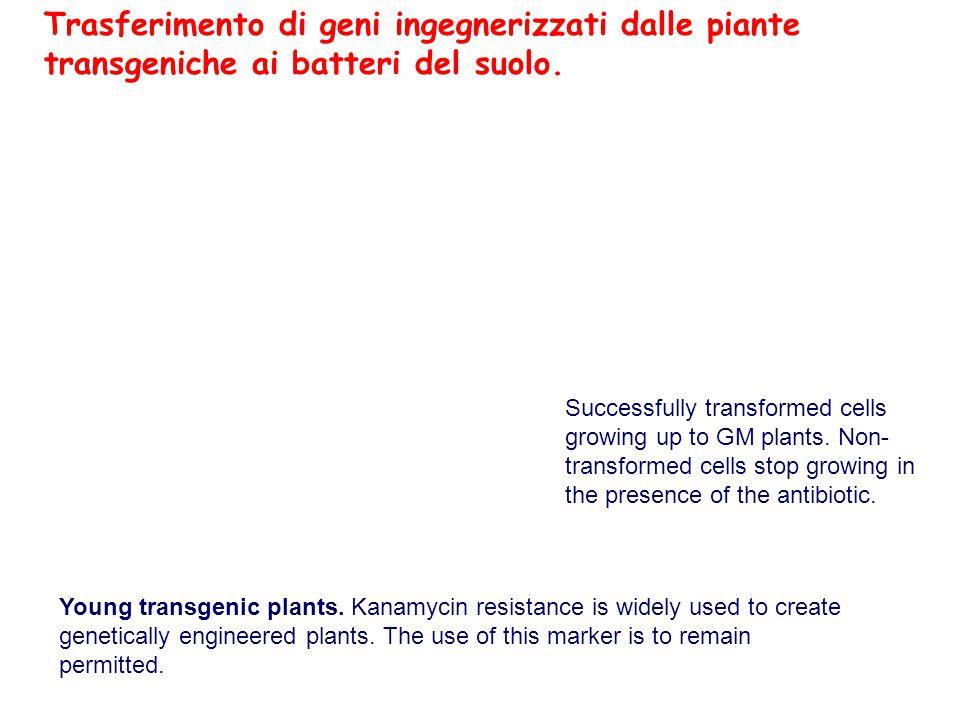Young transgenic plants.
