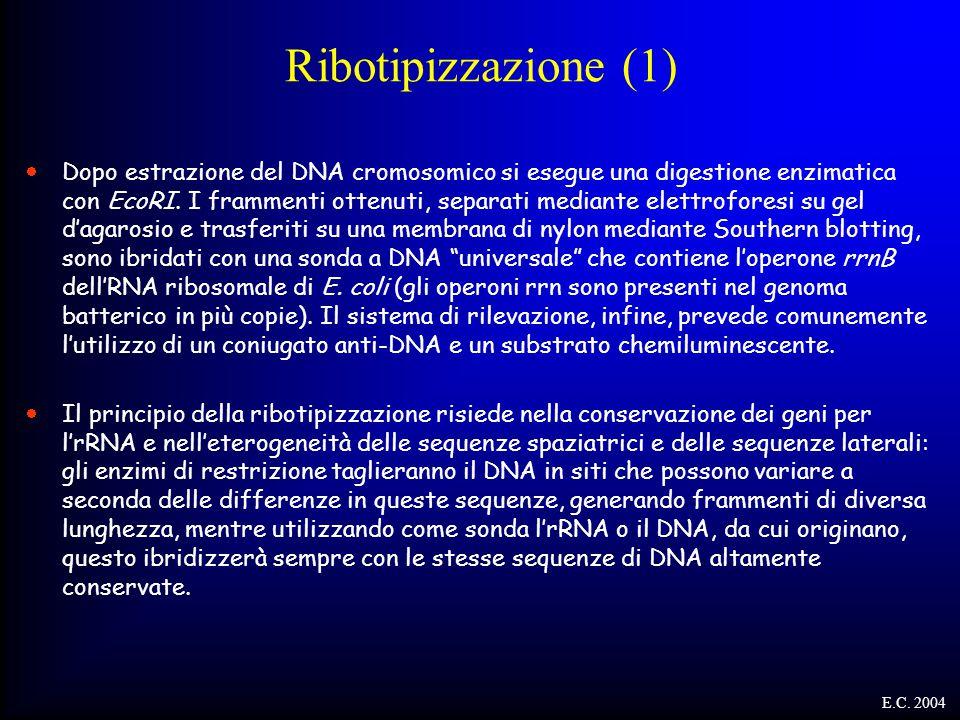Ribotipizzazione (1)  Dopo estrazione del DNA cromosomico si esegue una digestione enzimatica con EcoRI. I frammenti ottenuti, separati mediante elet