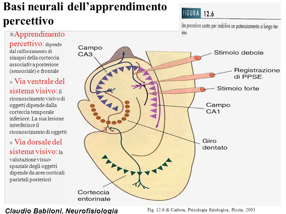 Claudio Babiloni, Neurofisiologia Modelli di potenziamento a lungo termine nei neuroni ippocampali (III) Fig.