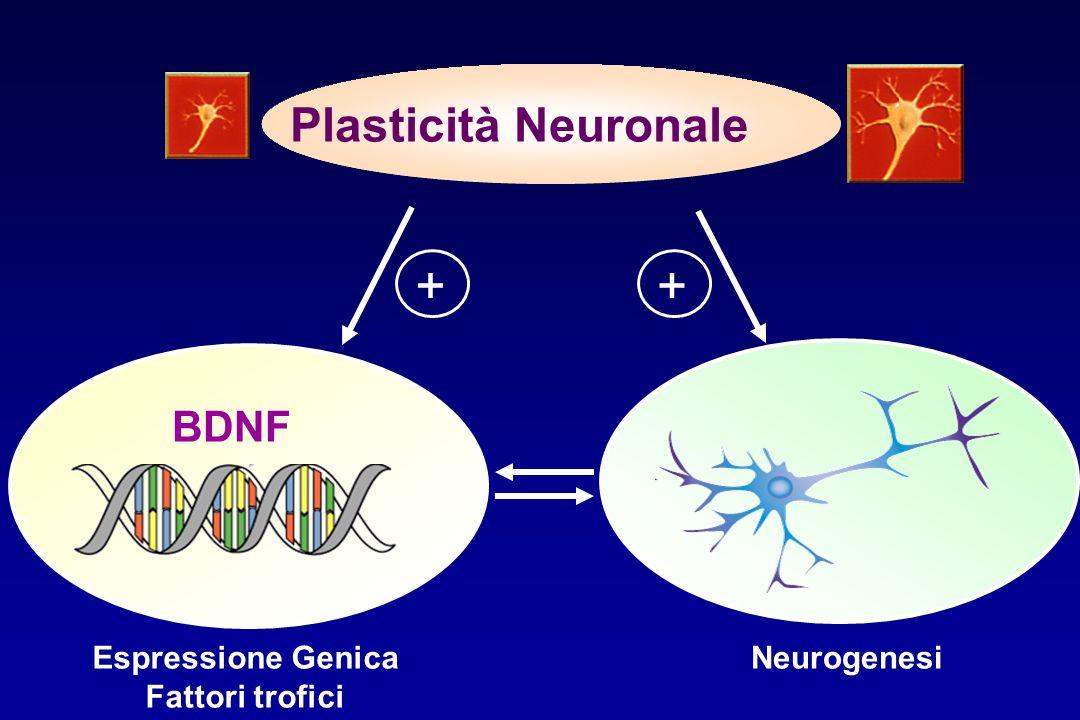 NeurogenesiEspressione Genica Fattori trofici ++ Plasticità Neuronale BDNF