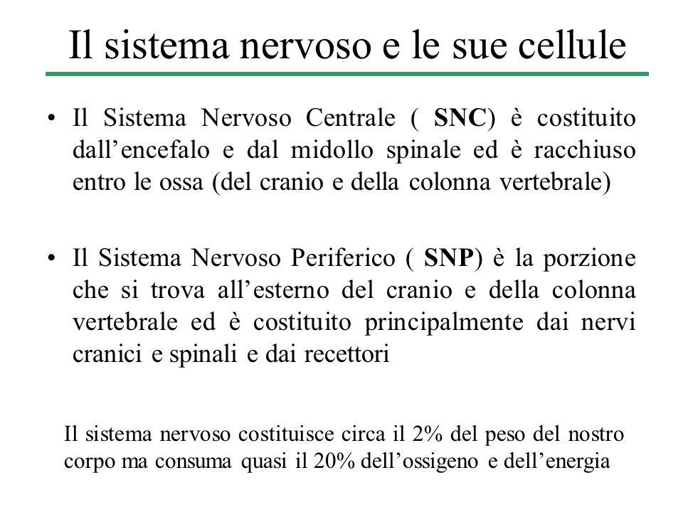 Il sistema nervoso costituisce circa il 2% del peso del nostro corpo ma consuma quasi il 20% dell'ossigeno e dell'energia Il sistema nervoso e le sue cellule Il Sistema Nervoso Centrale ( SNC) è costituito dall'encefalo e dal midollo spinale ed è racchiuso entro le ossa (del cranio e della colonna vertebrale) Il Sistema Nervoso Periferico ( SNP) è la porzione che si trova all'esterno del cranio e della colonna vertebrale ed è costituito principalmente dai nervi cranici e spinali e dai recettori