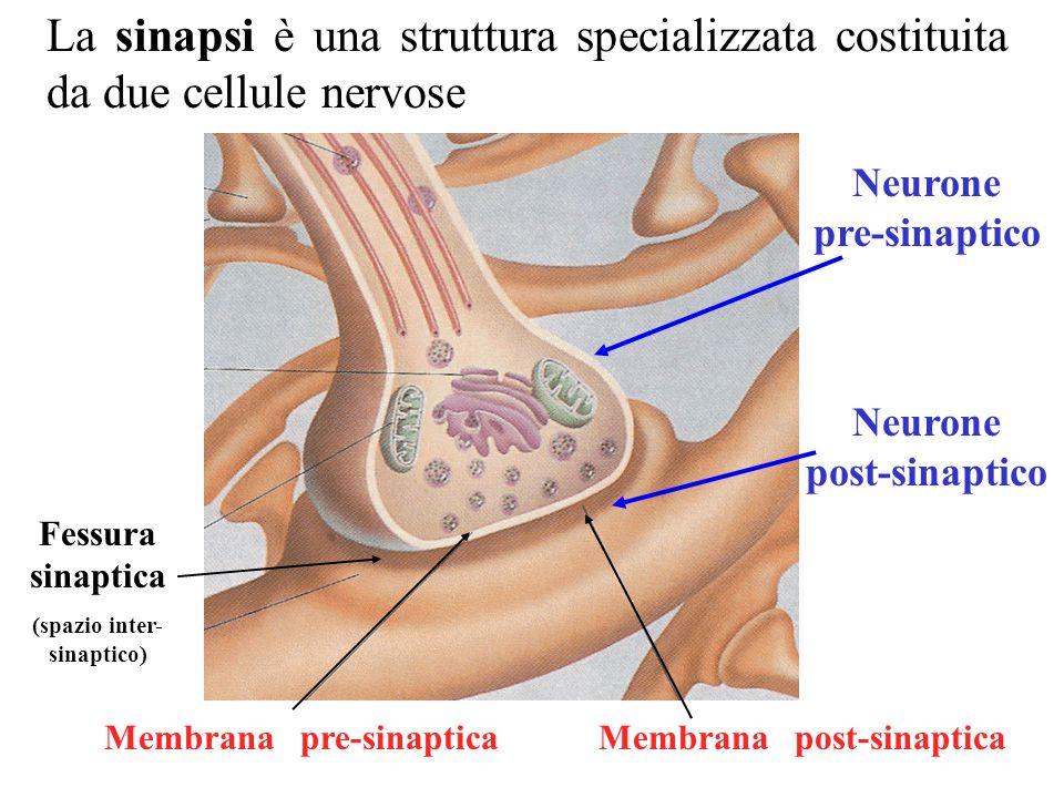 La sinapsi è una struttura specializzata costituita da due cellule nervose Neurone pre-sinaptico Neurone post-sinaptico Membrana post-sinapticaMembrana pre-sinaptica Fessura sinaptica (spazio inter- sinaptico)