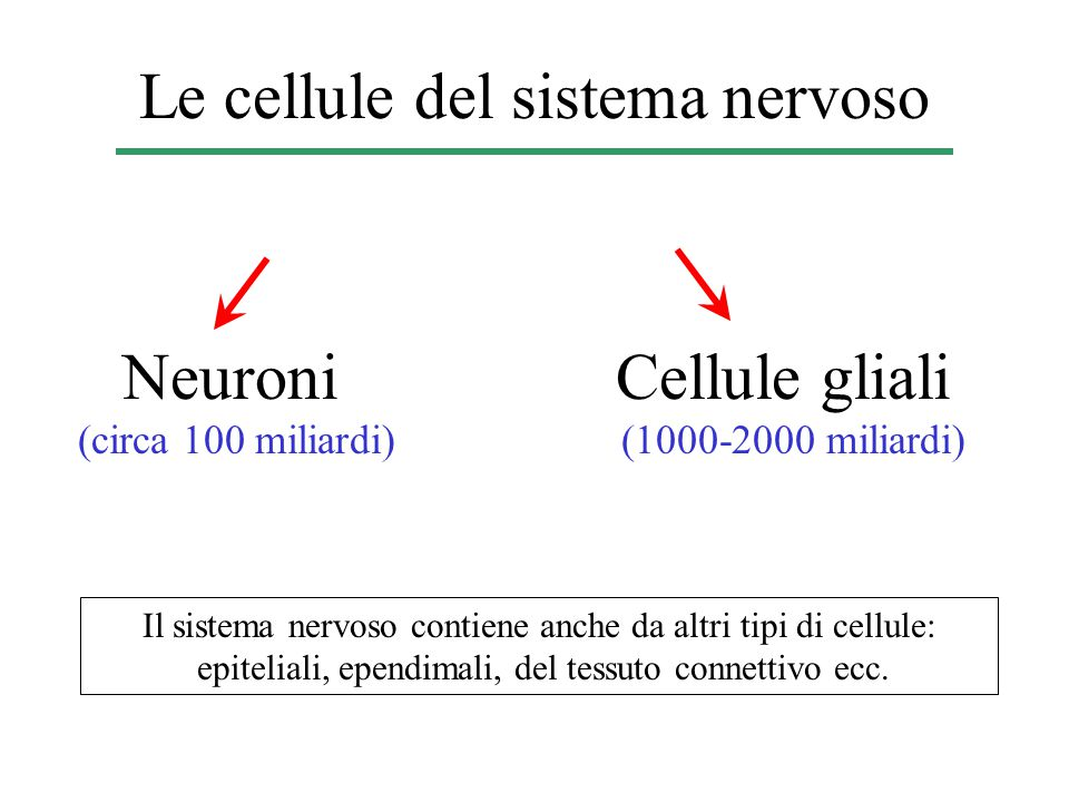 Le cellule del sistema nervoso Neuroni (circa 100 miliardi) Cellule gliali (1000-2000 miliardi) Il sistema nervoso contiene anche da altri tipi di cellule: epiteliali, ependimali, del tessuto connettivo ecc.