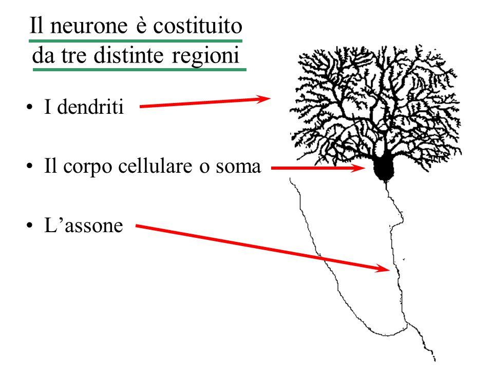 Il neurone è costituito da tre distinte regioni I dendriti Il corpo cellulare o soma L'assone