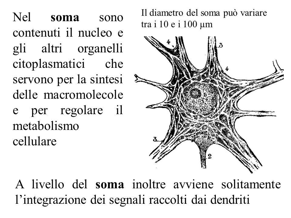 I dendriti sono di norma più d'uno.Ricevono informazioni dalle altre cellule neuronali.