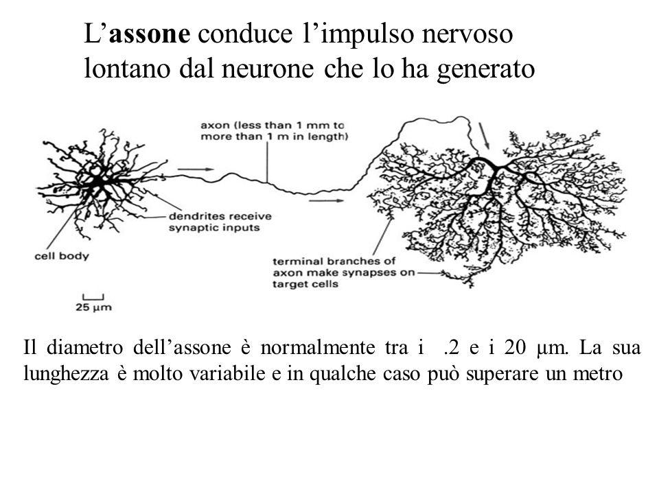L'assone conduce l'impulso nervoso lontano dal neurone che lo ha generato Il diametro dell'assone è normalmente tra i.2 e i 20 µm.