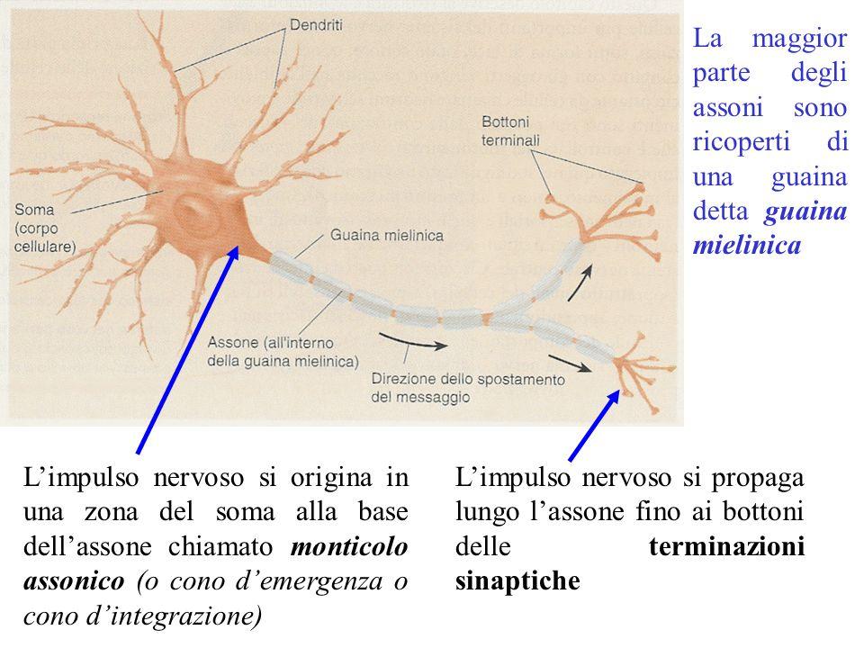 La maggior parte degli assoni sono ricoperti di una guaina detta guaina mielinica L'impulso nervoso si origina in una zona del soma alla base dell'assone chiamato monticolo assonico (o cono d'emergenza o cono d'integrazione) L'impulso nervoso si propaga lungo l'assone fino ai bottoni delle terminazioni sinaptiche
