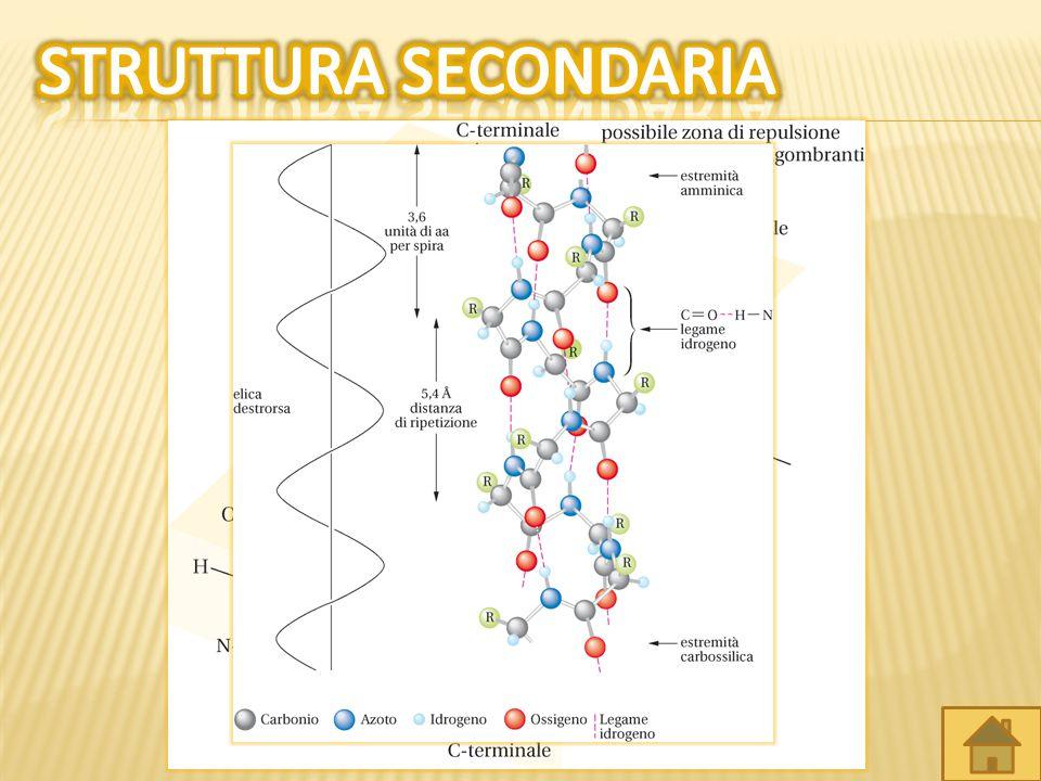  Polarità gruppi R.  Legami a idrogeno.  Legami disolfuro. Proteine fibroseProteine globulari