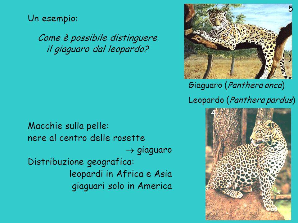 Giaguaro (Panthera onca) Leopardo (Panthera pardus) ) Macchie sulla pelle: nere al centro delle rosette  giaguaro Distribuzione geografica: leopardi in Africa e Asia giaguari solo in America 5 4 Un esempio: Come è possibile distinguere il giaguaro dal leopardo?