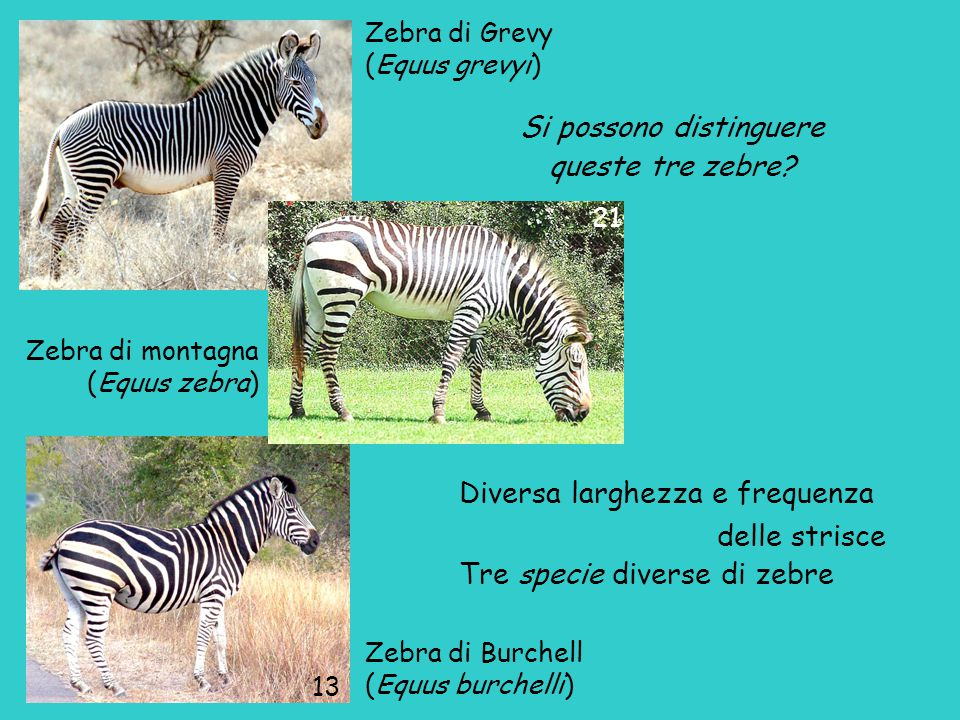 Zebra di Grevy (Equus grevyi) Zebra di montagna (Equus zebra) Zebra di Burchell (Equus burchelli) Si possono distinguere queste tre zebre.