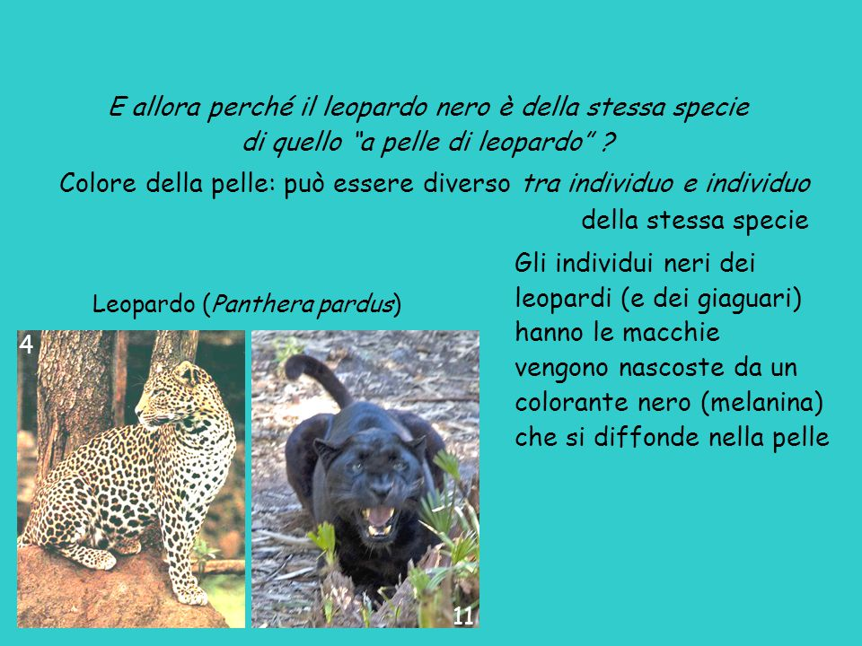 """Leopardo (Panthera pardus) E allora perché il leopardo nero è della stessa specie di quello """"a pelle di leopardo"""" ? Colore della pelle: può essere div"""