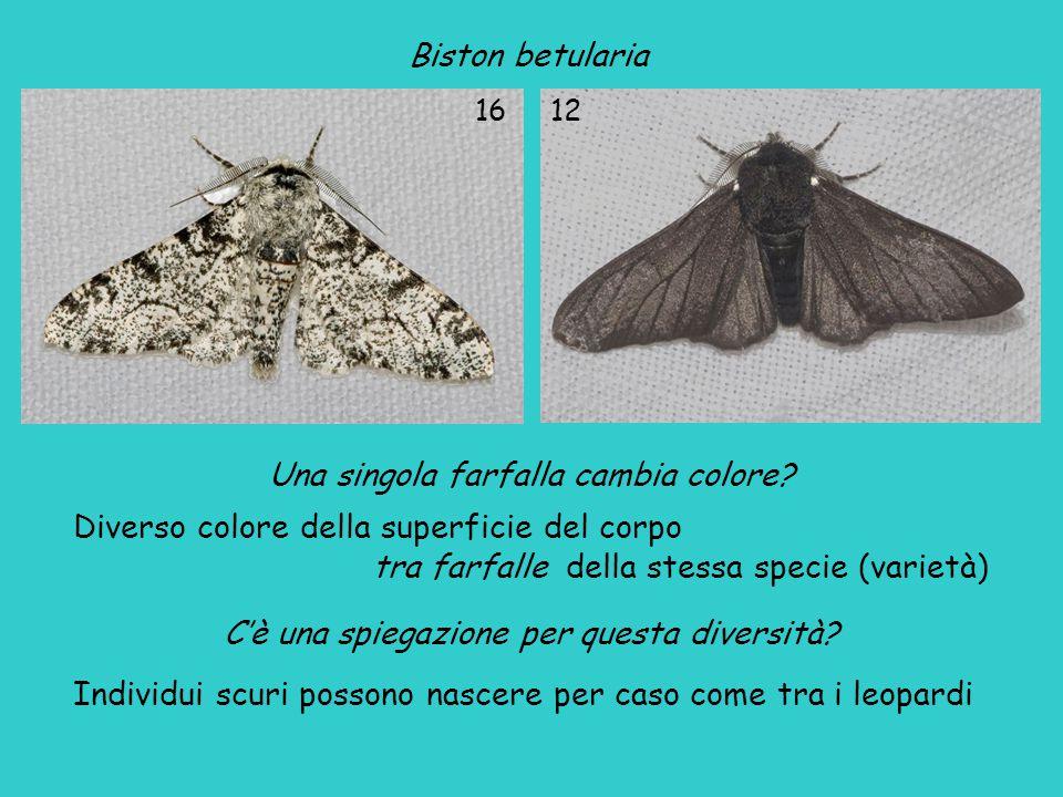 Biston betularia Una singola farfalla cambia colore.