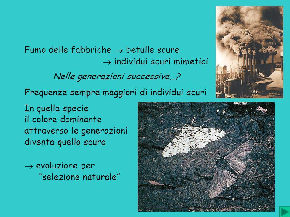 Fumo delle fabbriche  betulle scure  individui scuri mimetici Nelle generazioni successive…? Frequenze sempre maggiori di individui scuri In quella