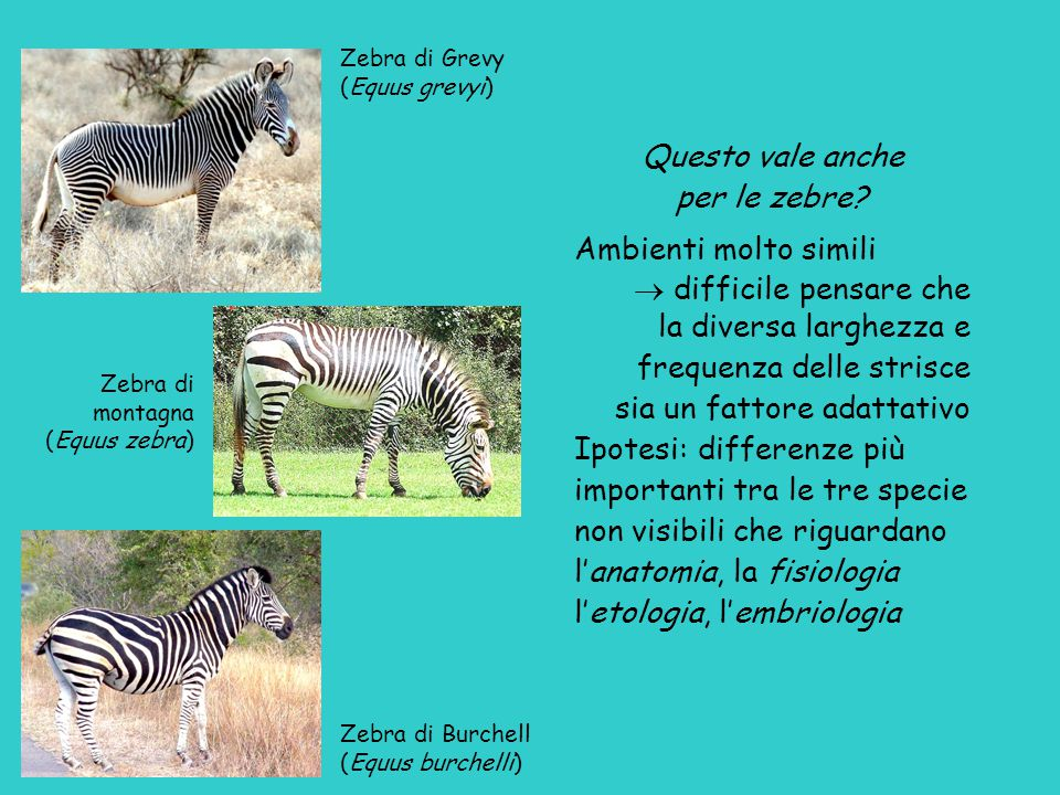 Zebra di Grevy (Equus grevyi) Zebra di montagna (Equus zebra) Zebra di Burchell (Equus burchelli) Questo vale anche per le zebre.