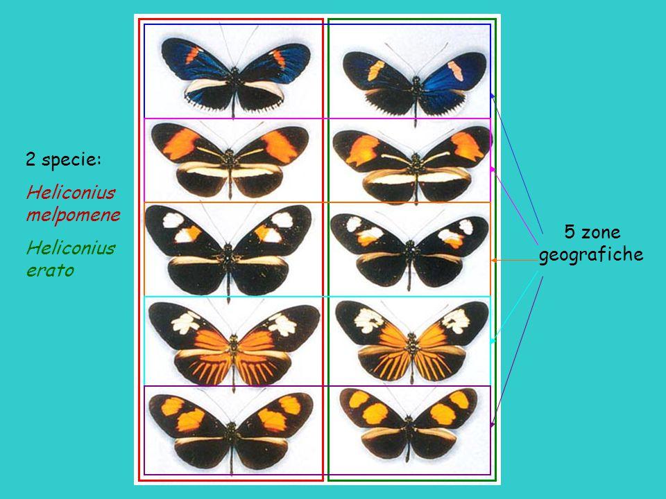 2 specie: Heliconius melpomene Heliconius erato 5 zone geografiche